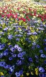 Flores hermosas, coronaria de la anémona Foto de archivo