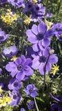 Flores hermosas, coronaria de la anémona Fotos de archivo libres de regalías
