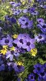 Flores hermosas, coronaria de la anémona Foto de archivo libre de regalías