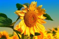 Flores hermosas de girasoles Imagen de archivo libre de regalías