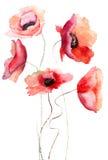 Flores hermosas de la amapola Fotos de archivo libres de regalías