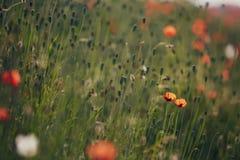 Flores hermosas de la amapola Fotografía de archivo