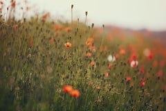 Flores hermosas de la amapola Imagen de archivo libre de regalías