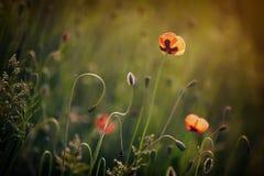 Flores hermosas de la amapola Imágenes de archivo libres de regalías