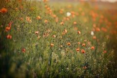 Flores hermosas de la amapola Foto de archivo libre de regalías