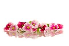 Flores de la begonia Foto de archivo