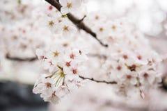 Flores hermosas de la cereza en árbol Foto de archivo libre de regalías
