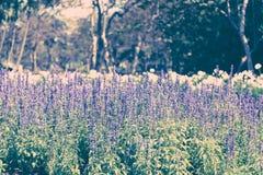 Flores hermosas de la lavanda Fotografía de archivo libre de regalías
