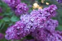 Flores hermosas de la lila Fotos de archivo
