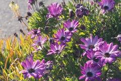 Flores hermosas de la lila como margarita Ecklonis de Osteospermum Eklon Osteospermum en el fondo de hojas verdes Primer imagen de archivo libre de regalías