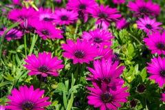 Flores hermosas de la lila como margarita Ecklonis de Osteospermum Eklon Osteospermum en el fondo de hojas verdes Primer imágenes de archivo libres de regalías