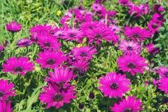 Flores hermosas de la lila como margarita Ecklonis de Osteospermum Eklon Osteospermum en el fondo de hojas verdes Primer fotos de archivo