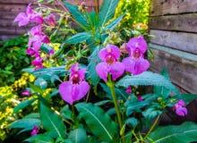 Flores hermosas de la lila del bálsamo del bosque en el medio del verano fotografía de archivo