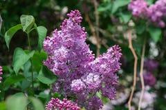 Flores hermosas de la lila del primer con las hojas Imagen de archivo libre de regalías
