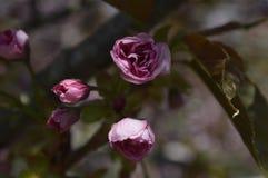 Flores hermosas de la macro de Sakura Fotografía de archivo
