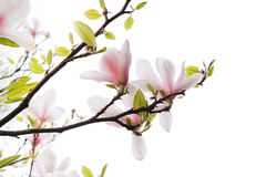 Flores hermosas de la magnolia Fotografía de archivo
