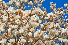 Flores hermosas de la magnolia contra el cielo azul imagenes de archivo