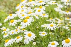 Flores hermosas de la manzanilla Fotografía de archivo