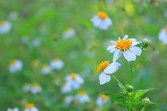 Flores hermosas de la margarita blanca Fotos de archivo libres de regalías