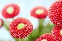 Flores hermosas de la margarita del resorte Imagenes de archivo