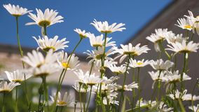 Flores hermosas de la margarita en el patio las flores blancas sacuden el viento contra el cielo azul almacen de video