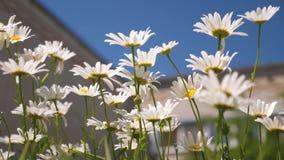 Flores hermosas de la margarita en el patio las flores blancas sacuden el viento contra el cielo azul metrajes