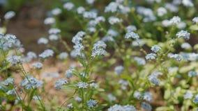 Flores hermosas de la nomeolvides en el bosque almacen de metraje de vídeo