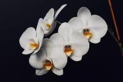 Flores hermosas de la orquídea del Phalaenopsis, aisladas en negro imagenes de archivo