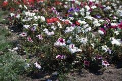 Flores hermosas de la petunia fotografía de archivo