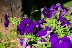 Flores hermosas de la petunia en jardín imagenes de archivo