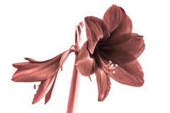 Flores hermosas de la planta con bulbo Hippeastrum Flores coralinas de vida del color contra el fondo blanco Hippeastrum aislado imagenes de archivo