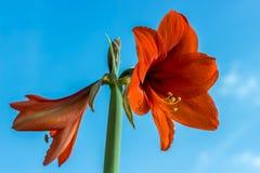 Flores hermosas de la planta con bulbo Hippeastrum Flores rojas contra el fondo del cielo azul Hippeastrum aislado fotografía de archivo