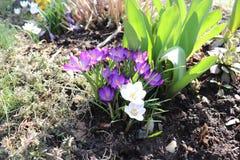 Flores hermosas de la primavera en Zlin foto de archivo libre de regalías