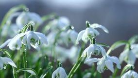 Flores hermosas de la primavera de los snowdrops en día ventoso metrajes
