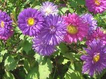 Flores hermosas de los crisantemos fotos de archivo