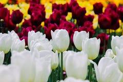 Flores hermosas de los tulipanes que florecen en el jardín fotografía de archivo