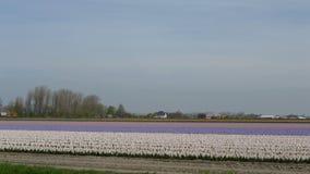 Flores hermosas de Países Bajos en primavera fotografía de archivo
