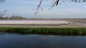 Flores hermosas de Países Bajos en primavera imágenes de archivo libres de regalías