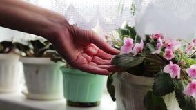 Flores hermosas de rosado y púrpura violetas en el travesaño casero de la ventana almacen de video