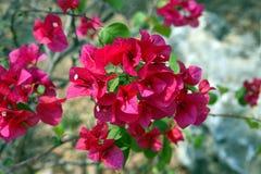 Flores hermosas de Tailandia foto de archivo