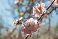 Flores hermosas del árbol de almendra en la primavera Imágenes de archivo libres de regalías