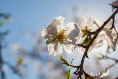 Flores hermosas del árbol de almendra en la primavera Imagen de archivo libre de regalías