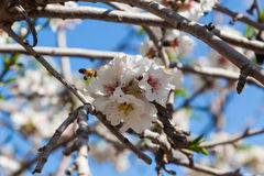 Flores hermosas del árbol de almendra en la primavera Imagenes de archivo