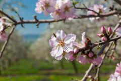 Flores hermosas del árbol de almendra en la primavera Foto de archivo libre de regalías
