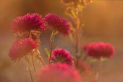 Flores hermosas del aster en luz del sol de oro Las flores enormes del aster florecen Flores hermosas del cosmos foto de archivo libre de regalías