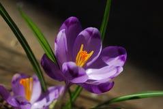 Flores hermosas del azafrán fotografía de archivo libre de regalías