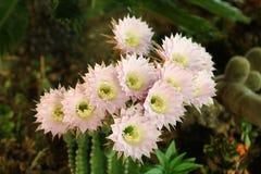 Flores hermosas del cactus Imagen de archivo