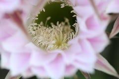 Flores hermosas del cactus Imagenes de archivo