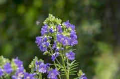 Flores hermosas del caeruleum del Polemonium en la floración, planta floreciente azul salvaje imagen de archivo libre de regalías