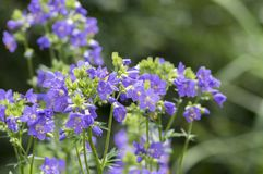 Flores hermosas del caeruleum del Polemonium en la floración, planta floreciente azul salvaje imagenes de archivo